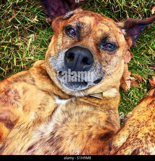 Ein Boxer Typ Hund liegend auf dem Rücken nach oben auf die Kamera Stockbild