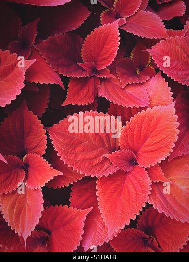 Full-Frame-Foto des roten Coleus leaves Stockbild