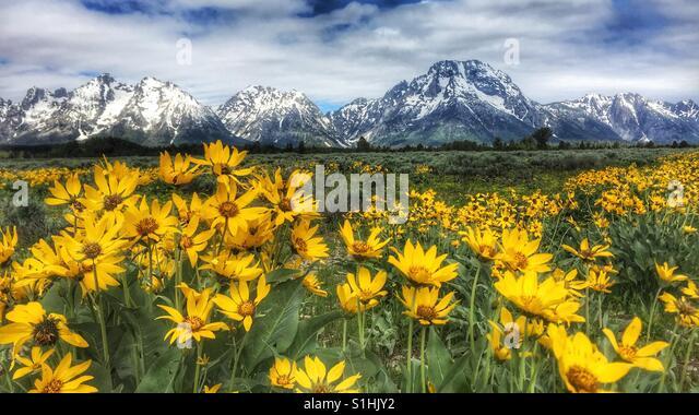 Grand Teton mit Wildblumen Stockbild