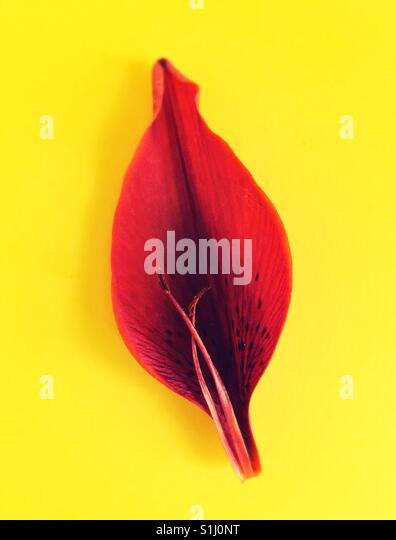 Ein Blütenblatt und Staubfäden einer roten Asiatic Lilie. Stockbild