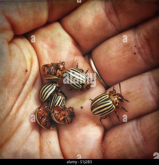 Colorado Kartoffel Käfer in der hand Stockbild