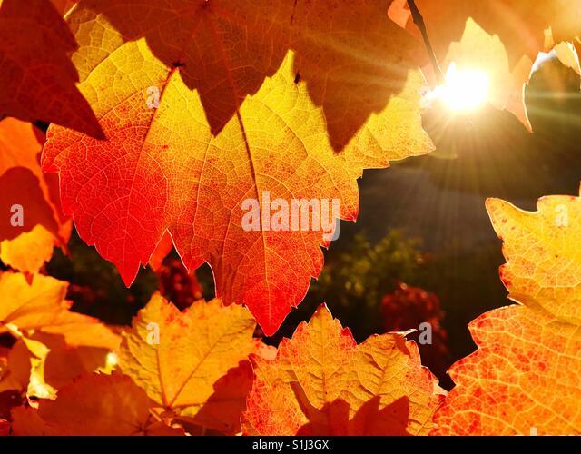 Nahaufnahme von Weinberg Blatt im Herbst bei Sonnenuntergang Stockbild