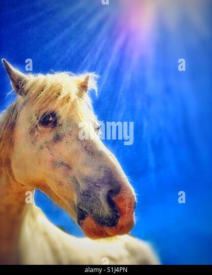 Das weiße Pferd. Stockbild