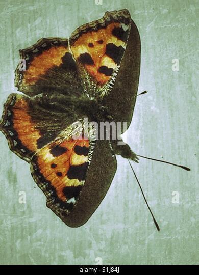 Ein Schildpatt-Schmetterling Stockbild
