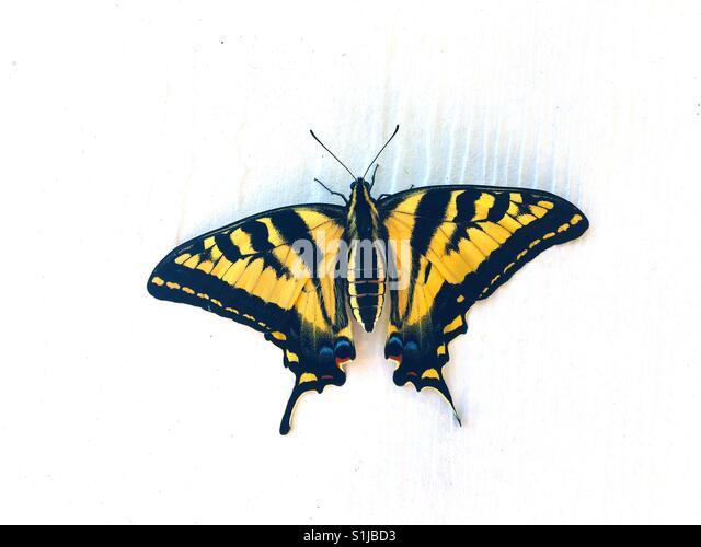 Ein Western Schwalbenschwanz Schmetterlinge ruht auf der Seite eines Hauses. Stockbild