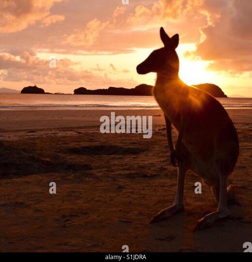 Känguru am Strand Stockbild