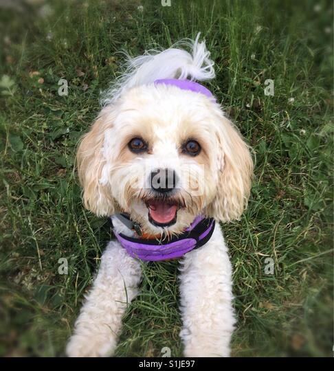 Glücklich Aprikose & weiße Cavachon Hund liegen auf dem Rasen & trägt einen lila coolen Mantel. Stockbild