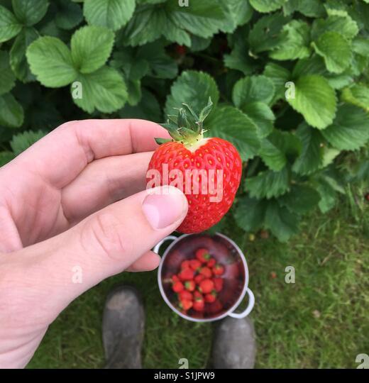Erdbeeren pflücken Stockbild