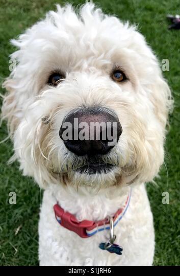 Ein weißer Labradoodle Hund sucht die Kamera. Stockbild