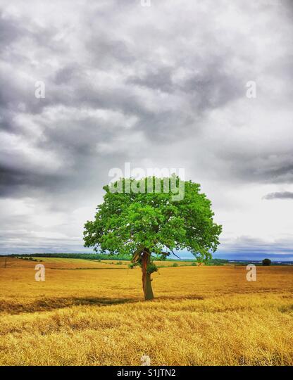 Einsamer Baum in einem Bauern-Feld Stockbild