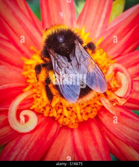 Biene auf eine lebendige Blume Stockbild