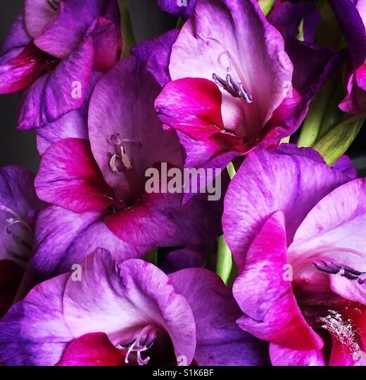 Gladiolen-Blüten Stockbild