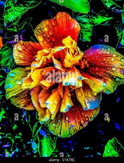 Hibiskus Blume hell und bunt mit Morgentau Stockbild