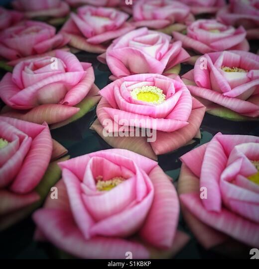Rosa Lotusblumen im Wasser schwimmende Stockbild