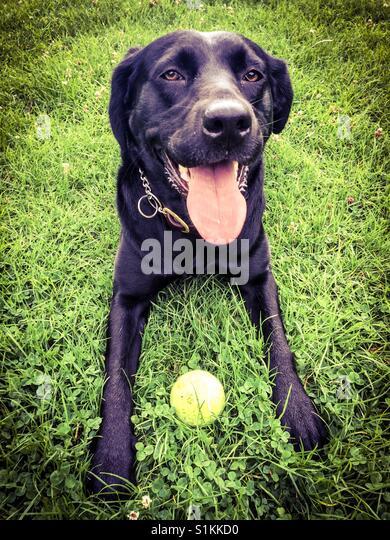 Schwarze Labrador und ihr ball Stockbild