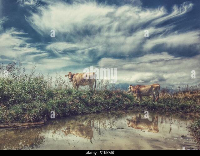 Rinder am Wasserloch Stockbild