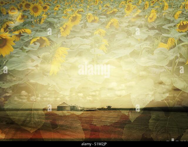 Doppelt belichtete Foto - Sonnenblumen und Bauernhof am Horizont Stockbild