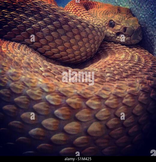 Klapperschlange Stockbild