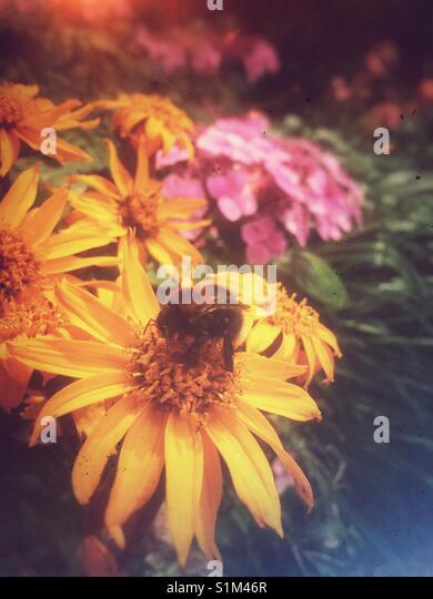 In der Nähe von Biene auf rudbeckien Blumen England Großbritannien Stockbild