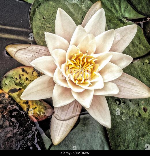 Water Lilly Stockbild