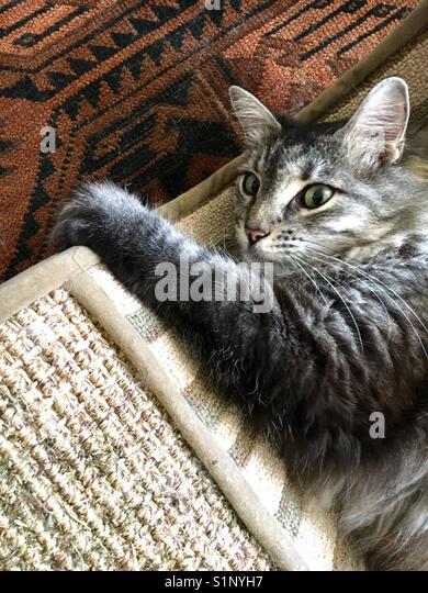 Maine-Coon-Katze Stockbild