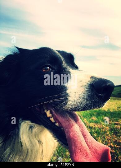 Herbst Hund Spaziergänge Stockbild