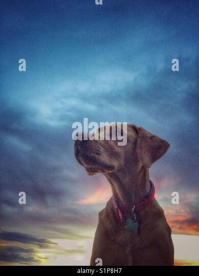Einen gelben Labrador Retriever Suche Regal und würdevoll mit einem bunten Sonnenuntergang und dramatische Stockbild