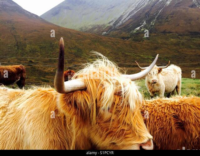 Highland Kühe auf Skye Stockbild