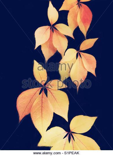 Gelbe klettern Blätter auf einem blauen Hintergrund Stockbild