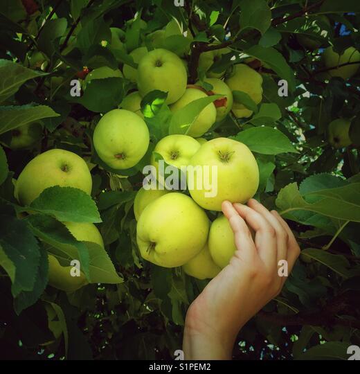 Apfelernte in Spokane, Washington Stockbild