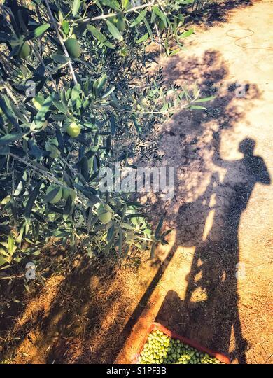 Man Oliven in einem Olivenhain Stockbild
