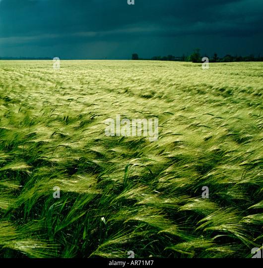 GB WILTSHIRE cielo tormentoso cebada campo cerca de Salisbury Imagen De Stock