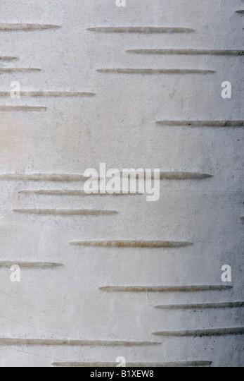 Corteza del Himalaya blanco abedul (Betula utilis) Imagen De Stock