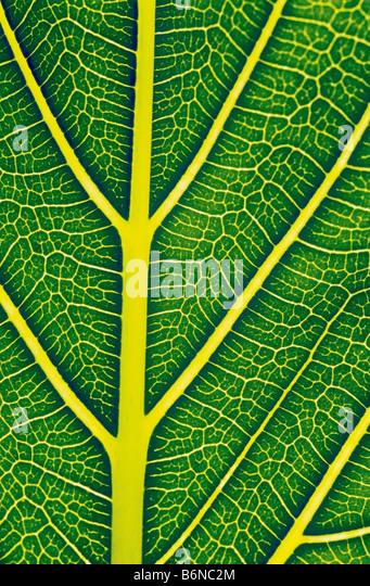La estructura de una hoja saludable Imagen De Stock