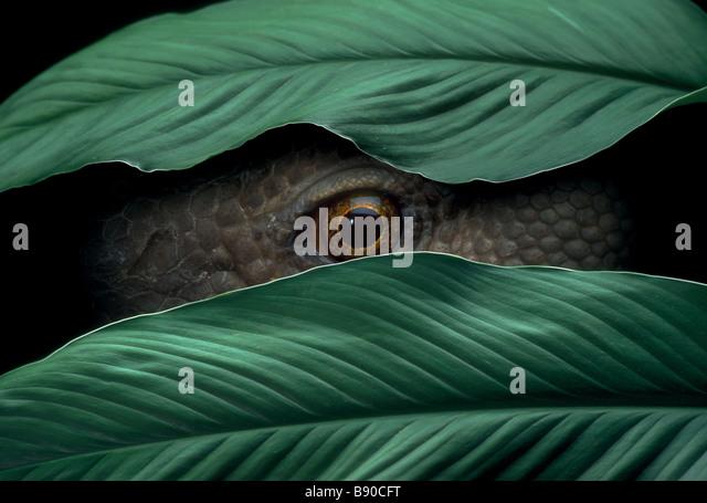 Conceptos # FL1150, Kitchin/Hurst; Reptil Peeking a través de hojas Imagen De Stock
