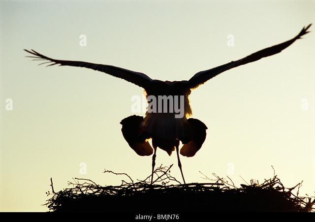 Apareamiento de las cigüeñas Imagen De Stock
