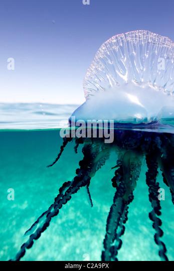 Por encima/debajo de la vista de un hombre portugués de guerra, como jalea en invertebrados marinos de la familia Imagen De Stock