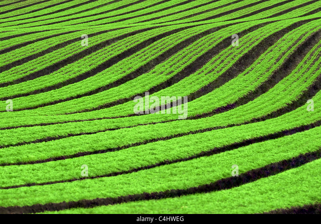 Filas de cultivos de zanahoria Imagen De Stock