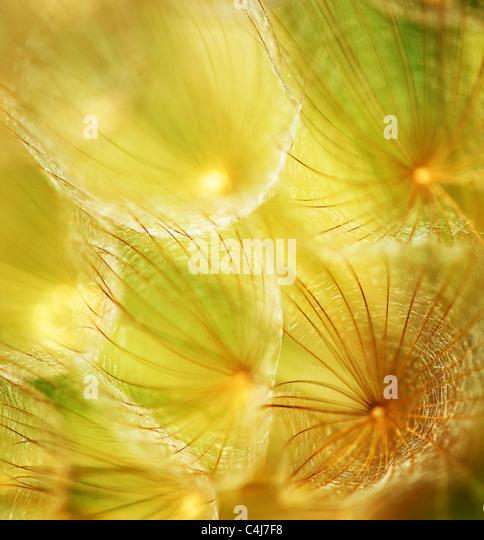 Suave flor diente de león, extreme closeup, Resumen Antecedentes La naturaleza de primavera Imagen De Stock