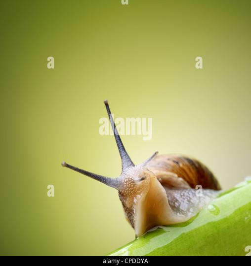Jardín común caracol arrastrándose en tallo verde de planta Imagen De Stock