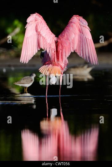 Espátula Rosada estirando sus alas Imagen De Stock