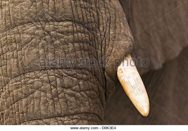 Un primer plano de un elefante jugando en el barro, en el Delta del Okavango en Botswana. Imagen De Stock
