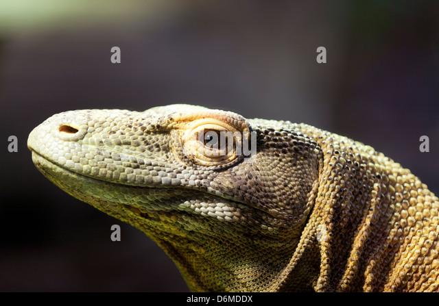 El dragón de Komodo, retrato de un dragón de Komodo. Imagen De Stock