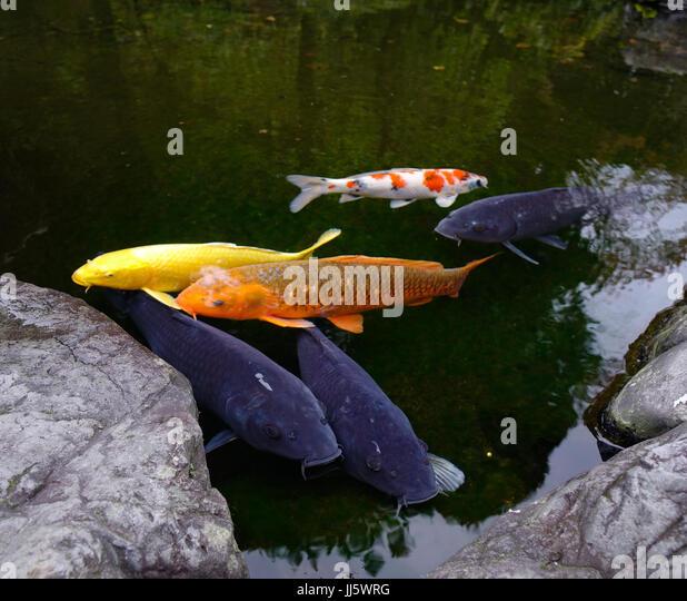 Goldfish ponds im genes de stock goldfish ponds fotos de for Estanque peces koi