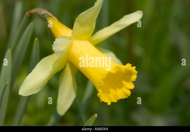 Daffodil woodland photos daffodil woodland images alamy - Jonquille sauvage des bois ...