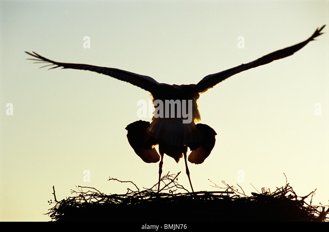 Accouplement des cigognes Photo Stock