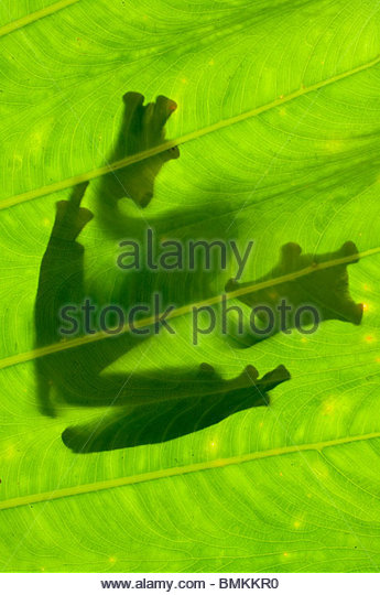 Silhouette de Wallace's Flying Frog sur feuille de palmier. Danum Valley, Sabah, Bornéo. Photo Stock