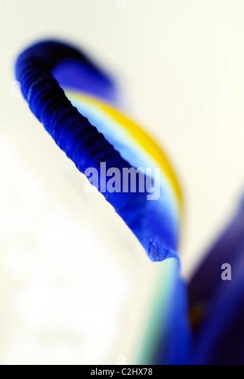 Blue Iris petal close-up Photo Stock