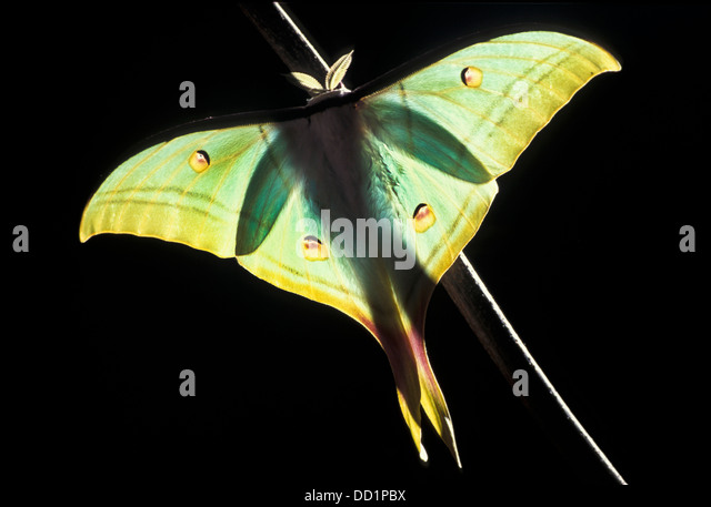 Papillon de lune indienne, Actias selene, l'Asie Photo Stock