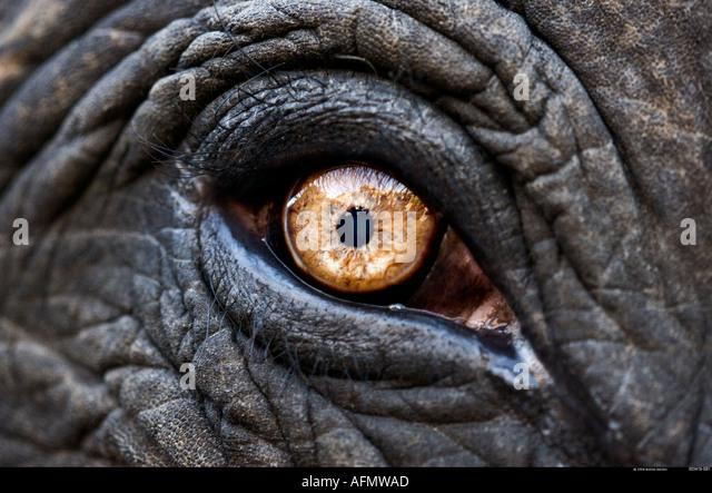 Ravvicinata di un occhio di un elefante indiano Jaipur India Immagini Stock